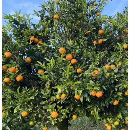 Petites Mandarines écologiques bon marché 10 kg (mini)