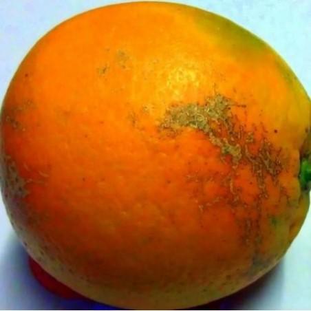 Naranjas Baratas Mesa y Zumo -- 20 Kg