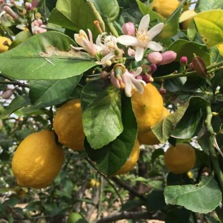 Lemons 20 kg