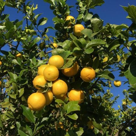 Citrons écologiques 20 kg