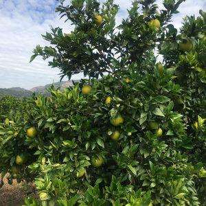 naranjas en octubre
